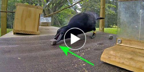 A holló egy botot figyel, 8 lépéssel később? Hihetetlen! A tudósokat sokkolta a látvány! - Ketkes.com