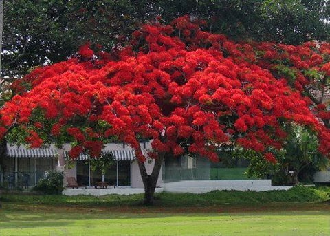 109 best puerto rico fauna flora images on pinterest for Arboles altos para jardin