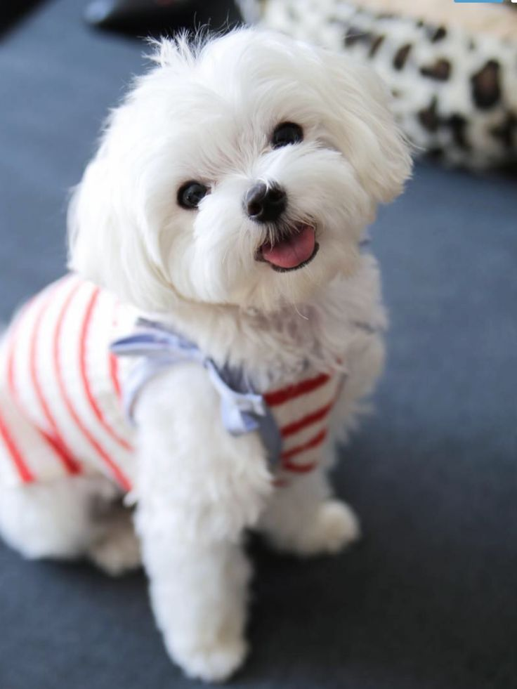 545 Best Maltese Dog Mania Images On Pinterest Maltese Puppies