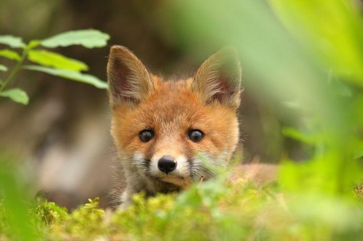 Red Fox Cub by Ł. Łukasik | Biebrza Eco-Travel