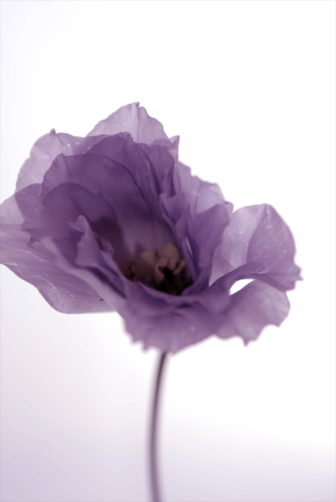 Fragile Purple Morning