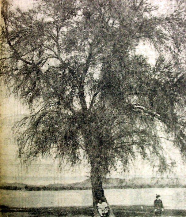 """Viejo y enorme tamarugo del sector de La Tirana, en imagen publicada por """"La Estrella de Iquique"""" el 20 de agosto de 1967. La vegetación ..."""