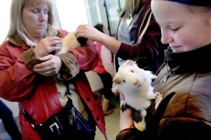[METHUEN, MA] The annual Guinea 'Pig-a-palooza' at MSPCA Nevins Farm