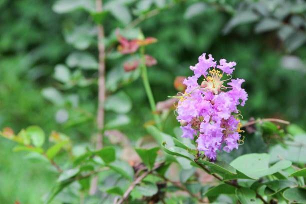 pink crape myrtle lagerstroemia speciosa or jarul flower