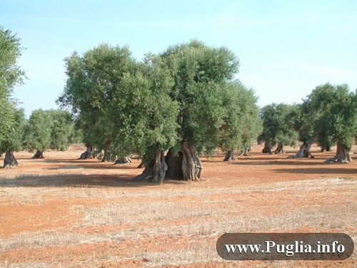 alberi secolari Salento Puglia  #TuscanyAgriturismoGiratola