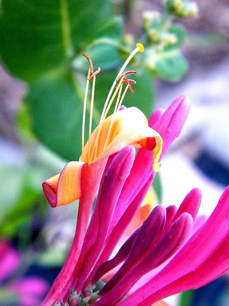 The Road to Here: Honeysuckle in Pink