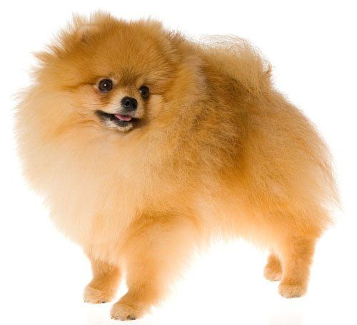 Pomeranian  Dog Breed  Edible Image Cake  Cupcake Topper -- Find out more about the great product at the image link.Note:It is affiliate link to Amazon. #shoutouts