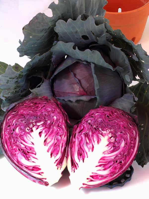 Organic Red Acre Cabbage is a supreme variety of cabbage according to our neighbor. We know it is simply the best early OP Red Cabbage variety available. This tasty cabbage variety produces shocking reddish-purple, globe shaped, heads that can add real color and beauty to your vegetable garden. Liven up any salad with its spectacular color. Each head reaches up%2...