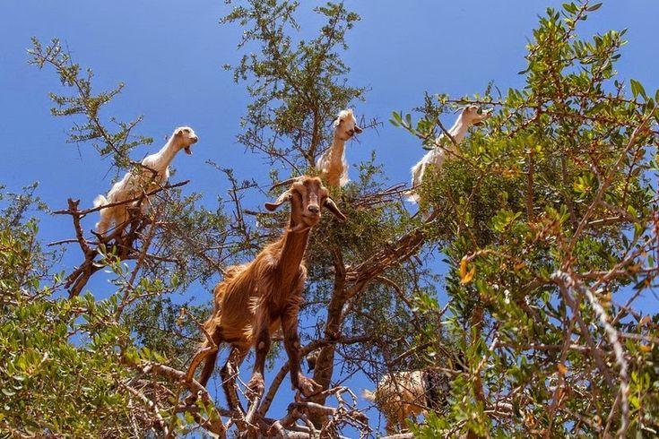 goats-argan-trees-5[6]