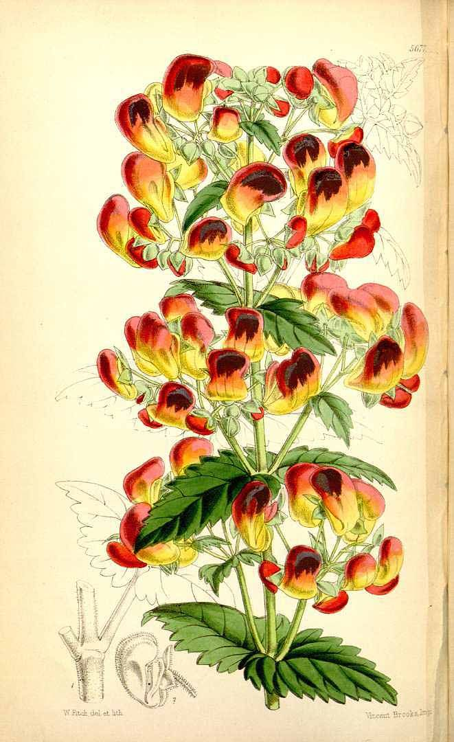 2743 Calceolaria pisacomensis Meyen ex Walp. / Curtis's Botanical Magazine, vol. 93 [ser. 3, vol. 23]: t. 5677 (1867) [W.H. Fitch]