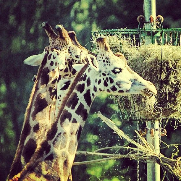 Photo by gdansk_official | #girappe #zoo #oliva