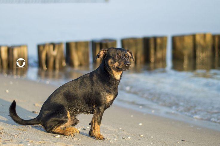 ©Melody M. Bayer Fotografie  BUDDY&ME #PinscherBuddy, Buddy and Me, Hundeblog, Dogblog, Hundemodel, Hundefotografie, Urlaub mit Hund, Ferien, Zingst, Darß, Strand, Meer, Hundestrand, September, Nikon D3200, Ostsee