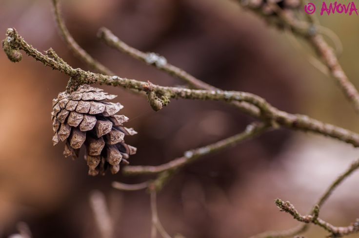 Pinecone by ANOVA  on 500px