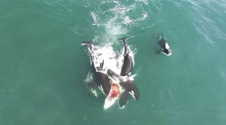 [Πρώτο Θέμα]: Σπάνιο βίντεο: Κοπάδι όρκες κατασπαράσσουν φάλαινα! | http://www.multi-news.gr/proto-thema-spanio-vinteo-kopadi-orkes-katasparassoun-falena/?utm_source=PN&utm_medium=multi-news.gr&utm_campaign=Socializr-multi-news