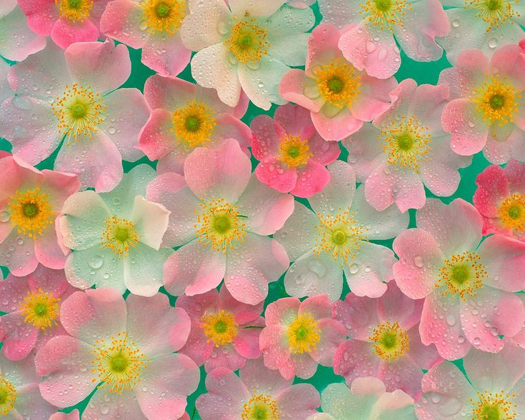 Wow. If there are really flowers that color, they make me happy: Pink Flower, Cherries Blossoms, Flowergarden, Flower Gardens, Soft Pastel, Water Droplets, Pastel Color, Rain Drop, Anemones