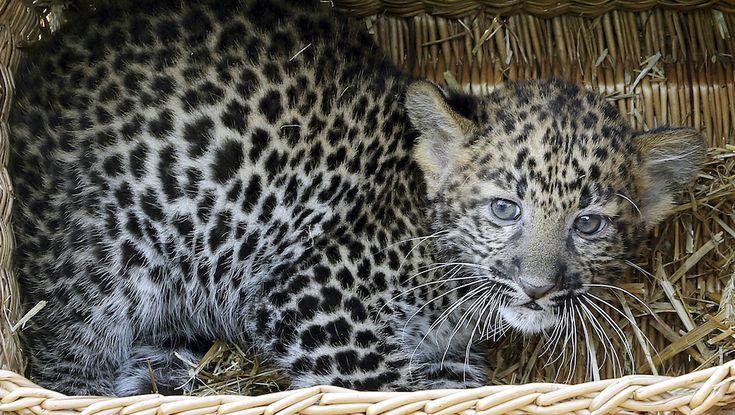 Cucciolo di leopardo.