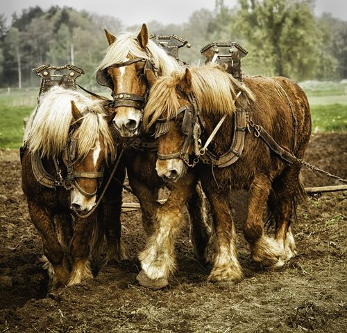 Belgian Draft Horses Gigi Embrechts                                                                                                                                                                                 More