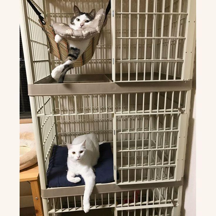 ケージはどんな風になってるの?って質問がいくつかあったので。 3段で扉はいつも開けっ放しで自由に登り下りできる様になってて、階ごとの床は半面だけで階ごとに互い違いになってるの。だから、中からも登れるの。 1階には → オモチャ。 2階には → お座布団。 3階には → にゃんモック。 お手頃の好みのキャットタワーがなかったのと、もし3人目になる子が居たりした時のトライアルスペース(☜これ願望w)になったり、病気になった時の隔離スペースになるかなぁと思って、大きいケージにしました♩ 追記→ アイリスオーヤマのペットケージでプラスチックでできてます。1段、2段、3段の3種類、幅も2種類、カラーもベージュ・ピンク・黄色があったよ♩家のは、ベージュの幅が大きい方の3段。(今でも売ってるかはわからない) #八おこめ #ねこ部 #cat #ねこ #ケージ
