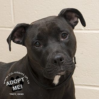 Pictures of Iris a Pit Bull Terrier for adoption in Troy, OH who needs a loving home.