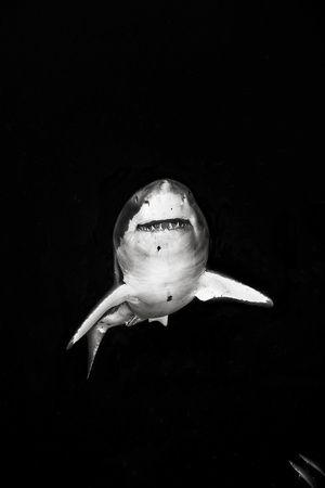Michael MullerSharksst Rayssawfish, Sharks Weeks, Michael Muller, Sea, White Sharks, Ocean Life, Photography, Great White Shark, Animal