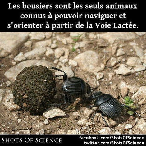 dinfos (en anglais) : http://voices.nationalgeographic.com/2013/01/24/dung-beetles-navigate-via-the-milky-way-an-animal-kingdom-first/ #bousiers #lactée #voie Les bousiers sont les seuls animaux connus à pouvoir naviguer et sorienter à partir de la Voie Lactée.