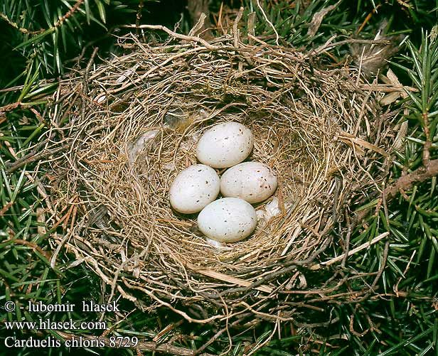 birds eggs nest Carduelis chloris Greenfinch Grünling