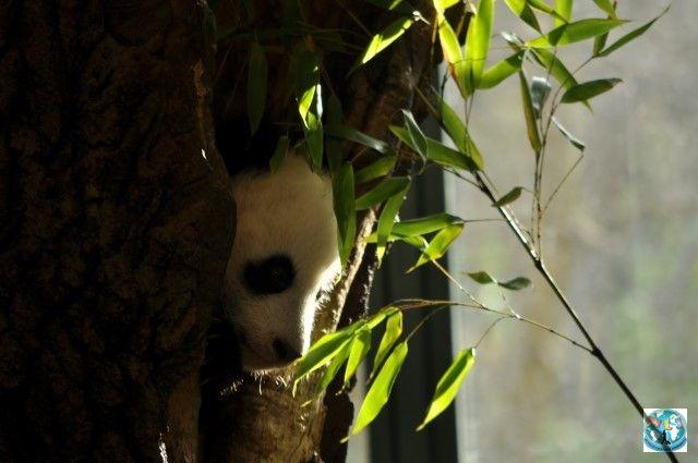 Cine nu iubește Panda? Dar când un pui mic și drăgălaș iese din culcuș, e mai interesant. Pentru Panda, călătoriți cu noi la Viena pentru a vizita Grădina Zoo Schonbrunn