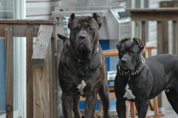 presa canario | cat haters | Pinterest | Black and I want