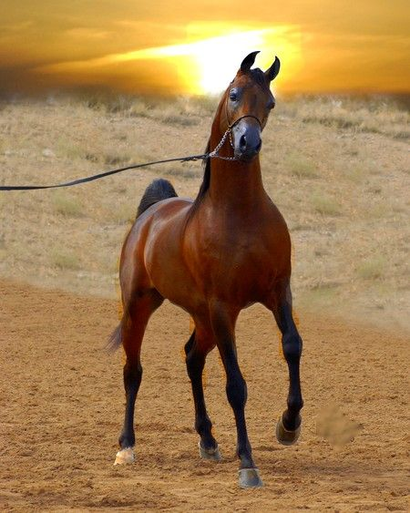 "Arabian horse, animal character inspiration for mare Rayat (Story: ""Nikit"")"