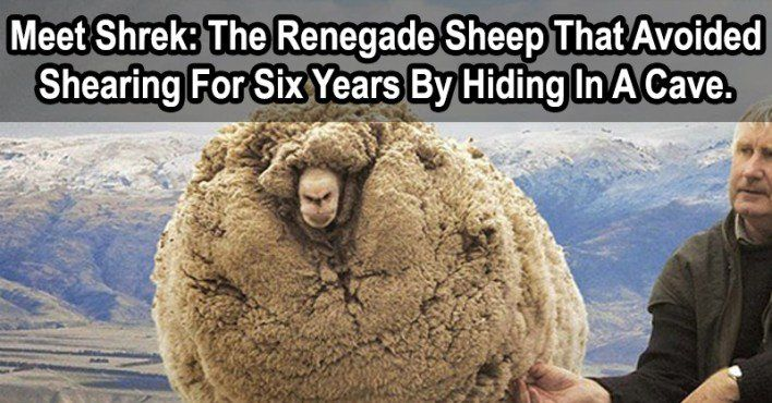 Meet Shrek: The Renegade Sheep That Avoided Shearing For Six Years By Hiding In A Cave.