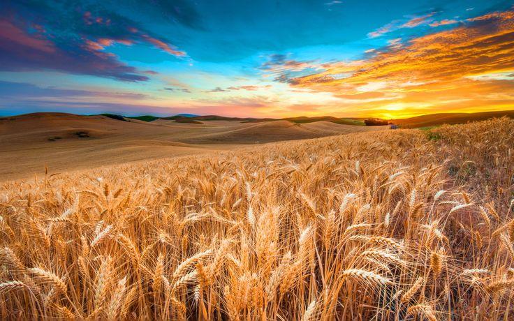 Corn Field Wallpapers - http://hdwallpapersf.com/corn-field-wallpapers