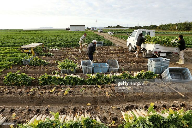 Farmers load freshly harvested Daikon radishes onto a truck at a field in Tatsuno, Hyogo Prefecture, Japan, on Wednesday, Nov. 2, 2016. Unusually poor weather in western Japan and a rise in food prices, particularly for vegetables, in September suggest risk of a downside surprise in Japan's household spending. Photographer: Buddhika Weerasinghe/Bloomberg via Getty Images