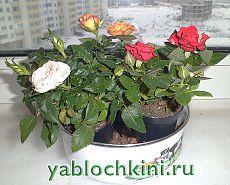 Выращивание роз как комнатное растение.  
