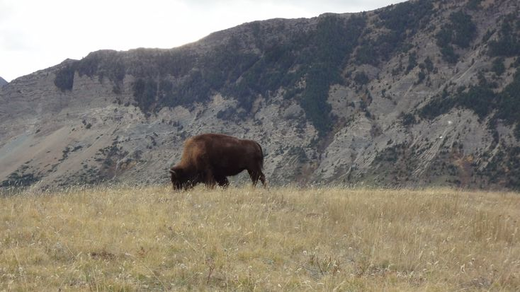 Heading to Waterton to take in the scenery? Be certain to jump on Bison Loop Road at the Bison Paddock just out-of-town. There is no guarantee you'll see anything too exciting, but there is at leas...