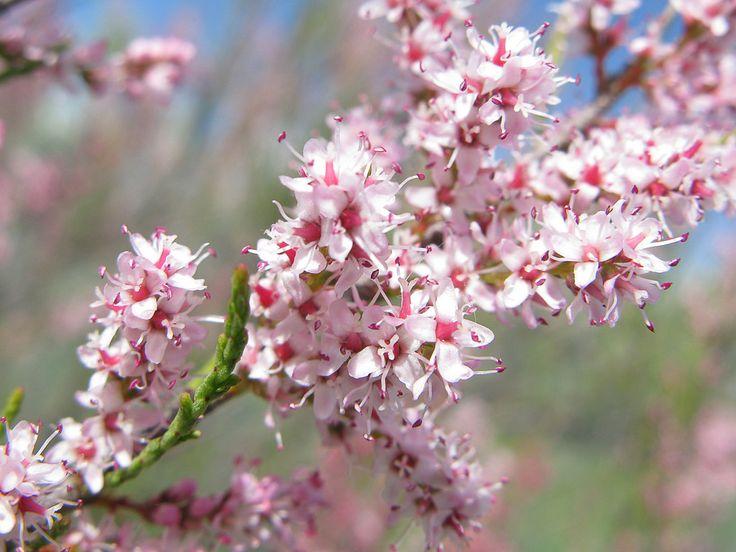 5 nombres de arbustos resistentes a la sequía - http://www.jardineriaon.com/5-nombres-de-arbustos-resistentes-a-la-sequia.html #plantas