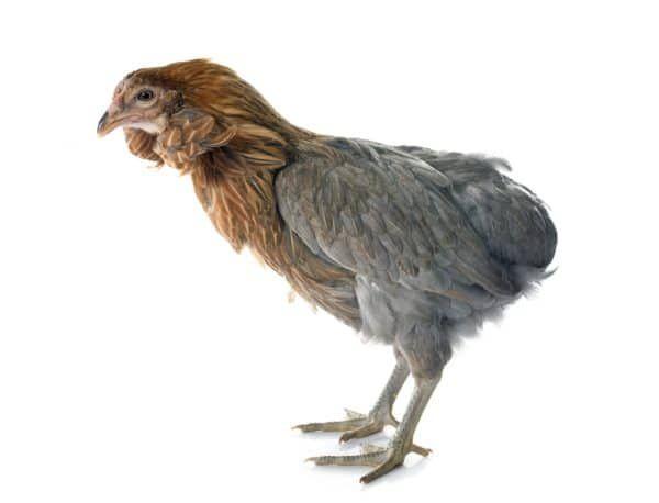 Welche Hühnerrasse ist für Anfänger geeignet? - Hühner im ...
