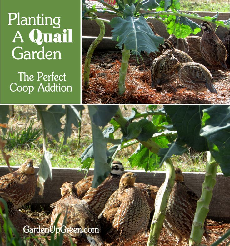 Do you raise quail?  You can plant them their own edible garden to supplement feed expenses. Do this by raising quail on the ground.  Garden Up Green