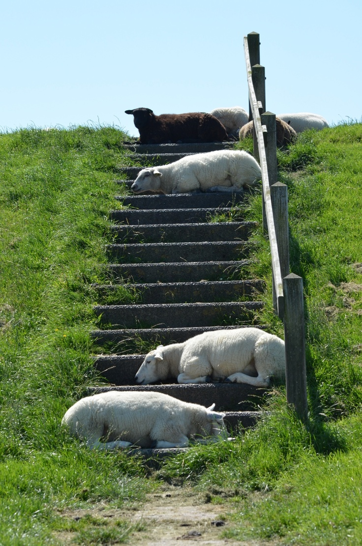 Sheep at Terschelling | Try getting up these steps… I dare you! ;)