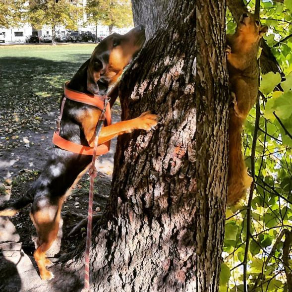 Dog vs squirrel at Civic Center Park - Denver, CO - Angus Off-Leash #dogs #puppies #cutedogs #bigdogs #denver #colorado #angusoffleash #dogparks: