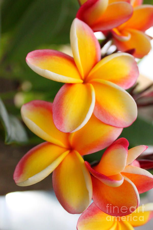 best plumeria  the most beautiful flower in the world. images, Beautiful flower