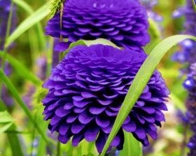 Zinnia Lavender Queen- SeedsPro- Annuals-