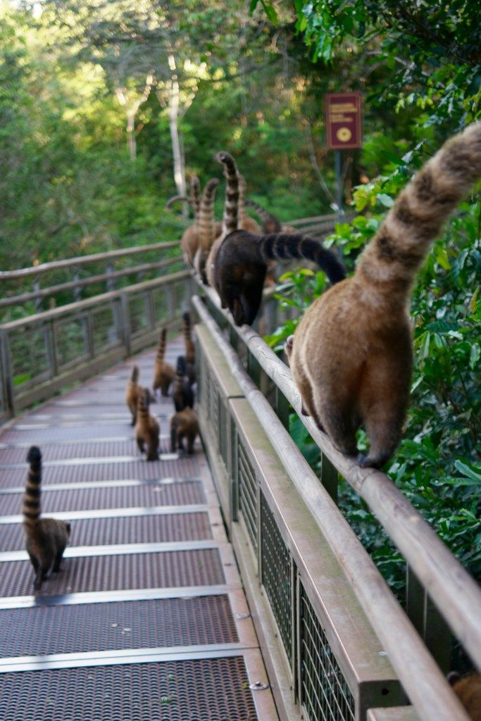 A pack of coati enjoy the trails at Iguazu Falls after the park closes.