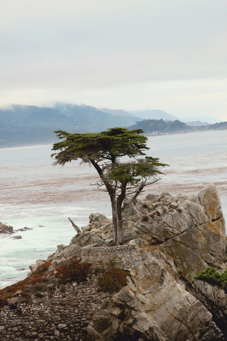 Cypress tree pebble beach famous from their logo