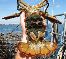 "American lobster - A female lobster carrying eggs on her pleopods. To protect breeding females caught carrying eggs are to be notched on a tail flipper (second from the right, if the lobster is right-side up and the tail is fully extended). The female cannot be kept or sold, and is commonly referred to as a ""punch-tail"" or as ""v-notched"". This notch remains for two molts of the lobster exoskeleton, providing harvest protection and continued breeding availability for up to five years."