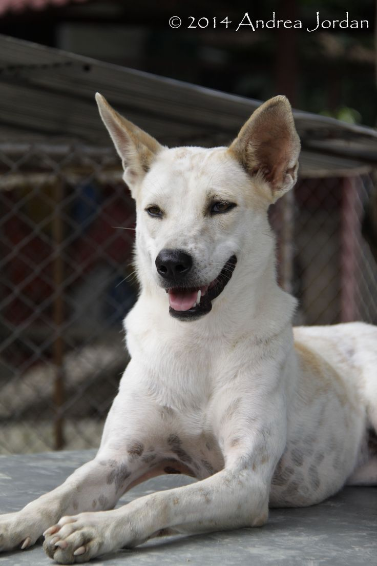 Kara (Care for Dogs shelter, Thailand)