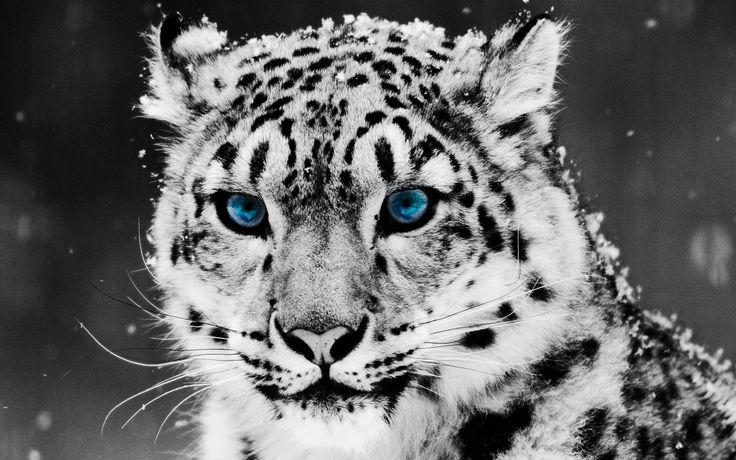 Tiere Schneeleopard  Katze Süß Tiger Wallpaper