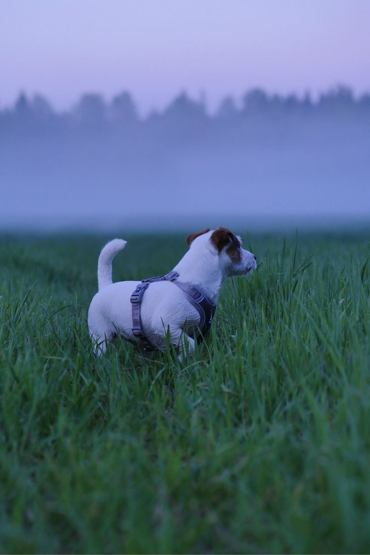 Cutest curious jackrussel terrier puppy on the field. Foggy summer night, dog photography