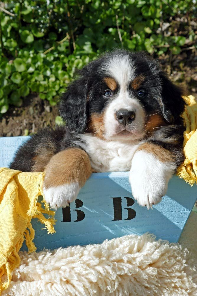 Bernese Mountain Dog (Bouvier Bernois)