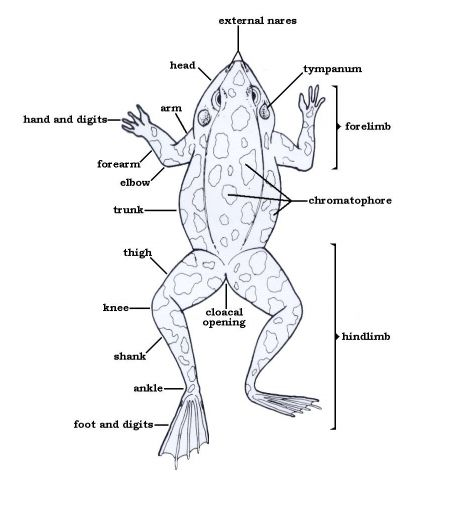 Frog Foot Diagram Auto Electrical Wiring Diagram
