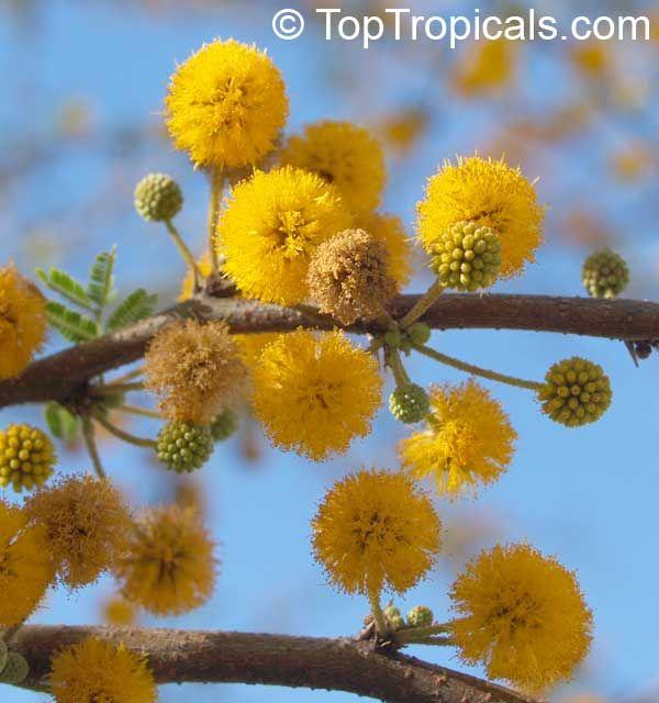 Acacia farnesiana, Mimosa farnesiana Family: Mimosoideae / Mimosaceae Yellow Mimosa, Sweet Wattle